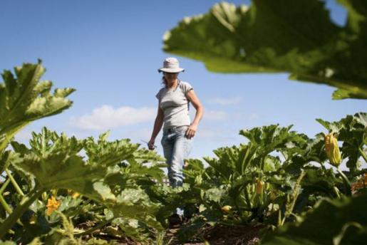 El Ministerio de Agricultura va a dar los permisos a varias multinacionales para introducir semillas de cinco variedades de maíz transgénico.