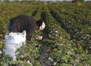 El estudio se centró en algodón y maíz transgénico.