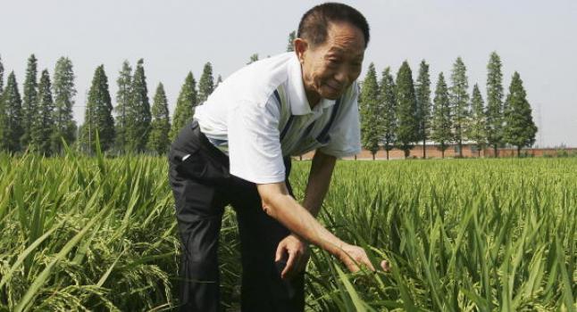 Campesino en Hunan analiza planta de arroz híbrido. Los alimentos transgénicos están hechos con nueva e incierta tecnología. (Guang Niu/Getty Images)