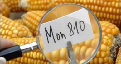El Consejo de Estado ha anulado la medida de emergencia adoptada por decreto de 16 de marzo 2012 por el Gobierno francés, que suspendió el cultivo del maíz MON 810.