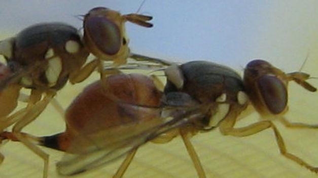 Una empresa inglesa pide liberar moscas transgénicas en Catalunya